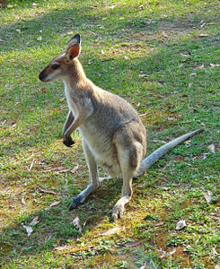 Wallaby at bowen gold coast clinic
